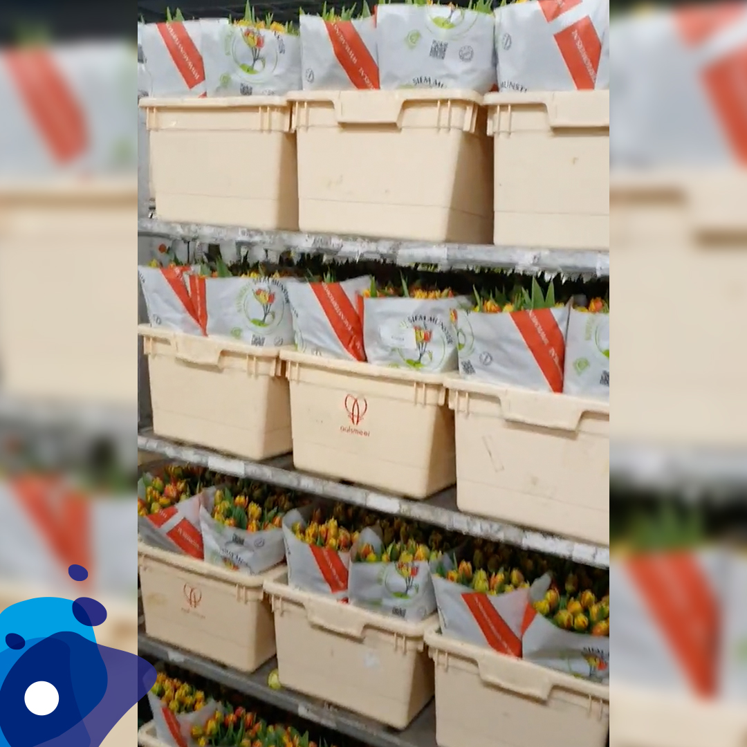 Tulpenvellen-siemmunster-adriaandekker